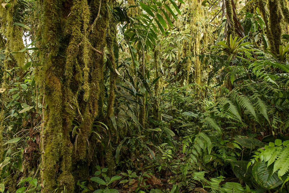<p><strong>Mlžný les</strong> Otonga, Ekvádor</p>