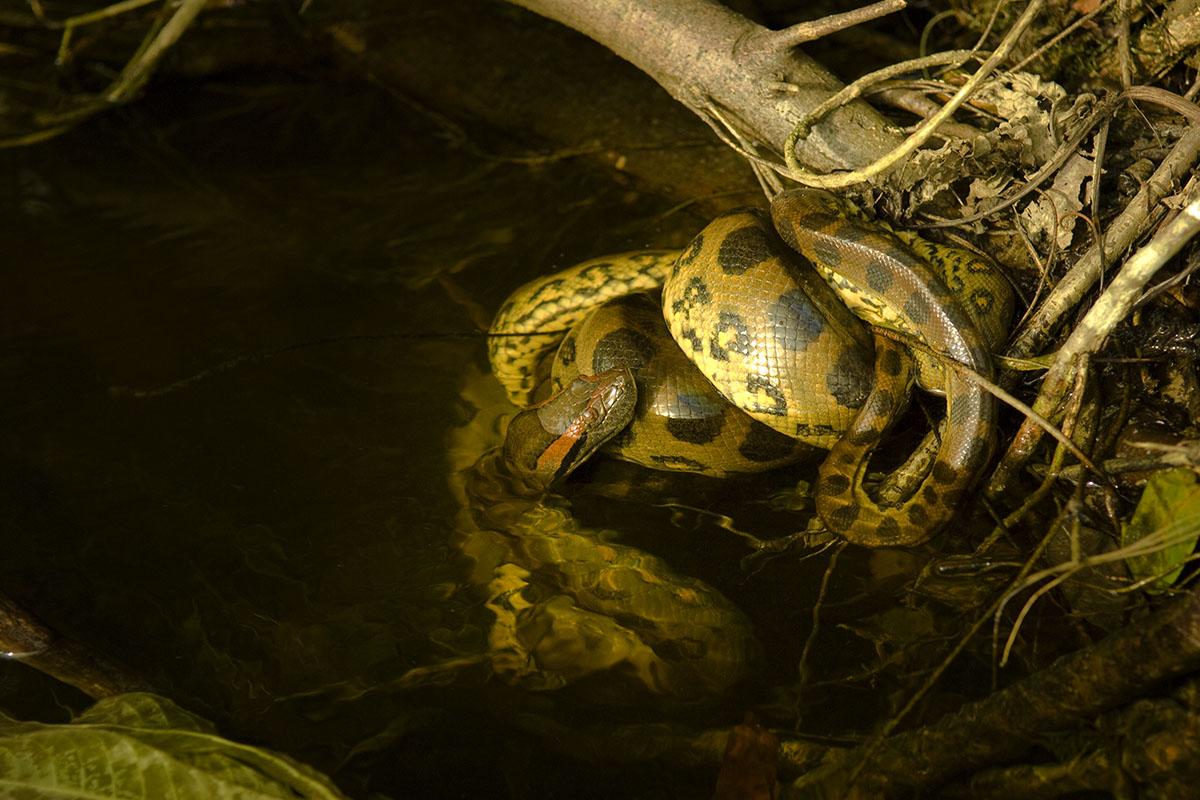 <p><strong>Mladá anakonda ulovila jiné mládě</strong> Rio Nichare, Venezuela</p>