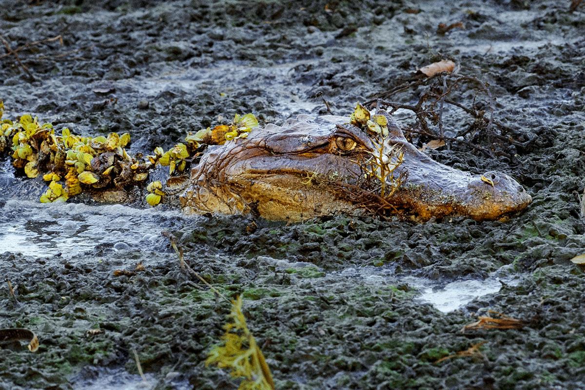 <p><strong>Spectacled caiman</strong> Llanos, Venezuela</p>