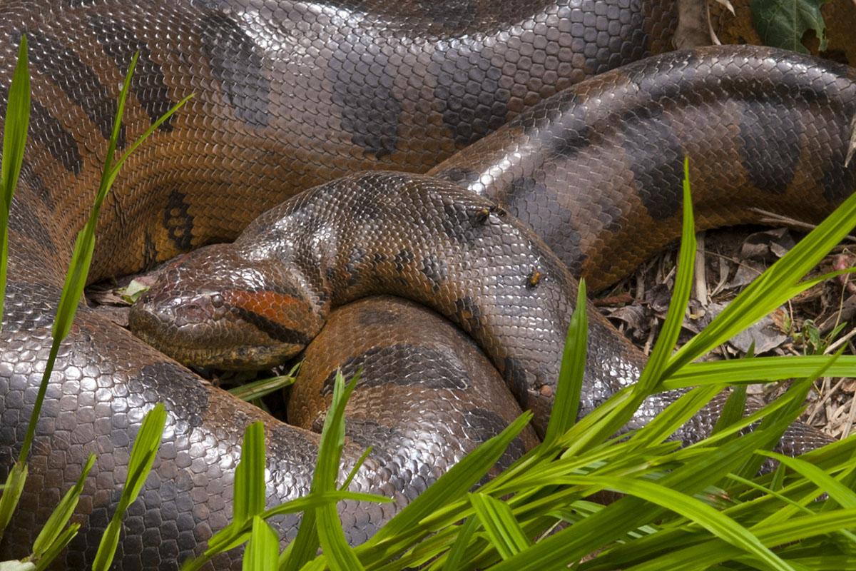 <p><strong>Anaconda</strong> Llanos, Venezuela</p>