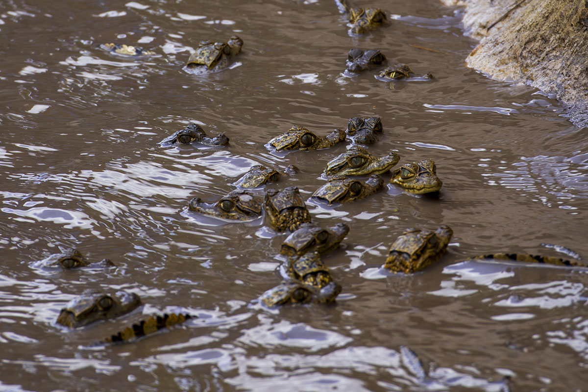<p><strong>Young spectacled caimans</strong> Llanos, Venezuela</p>