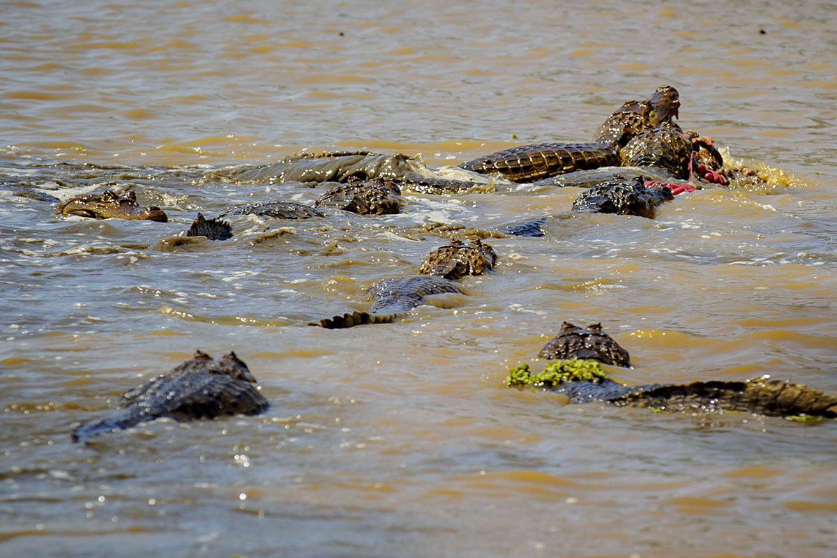 <p><strong>Spectacled caimans fighting for their prey</strong> Llanos, Venezuela</p>