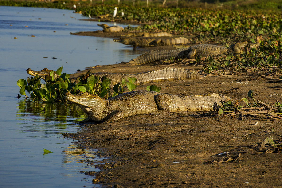 <p><strong>Spectacled caimans</strong> Llanos, Venezuela</p>