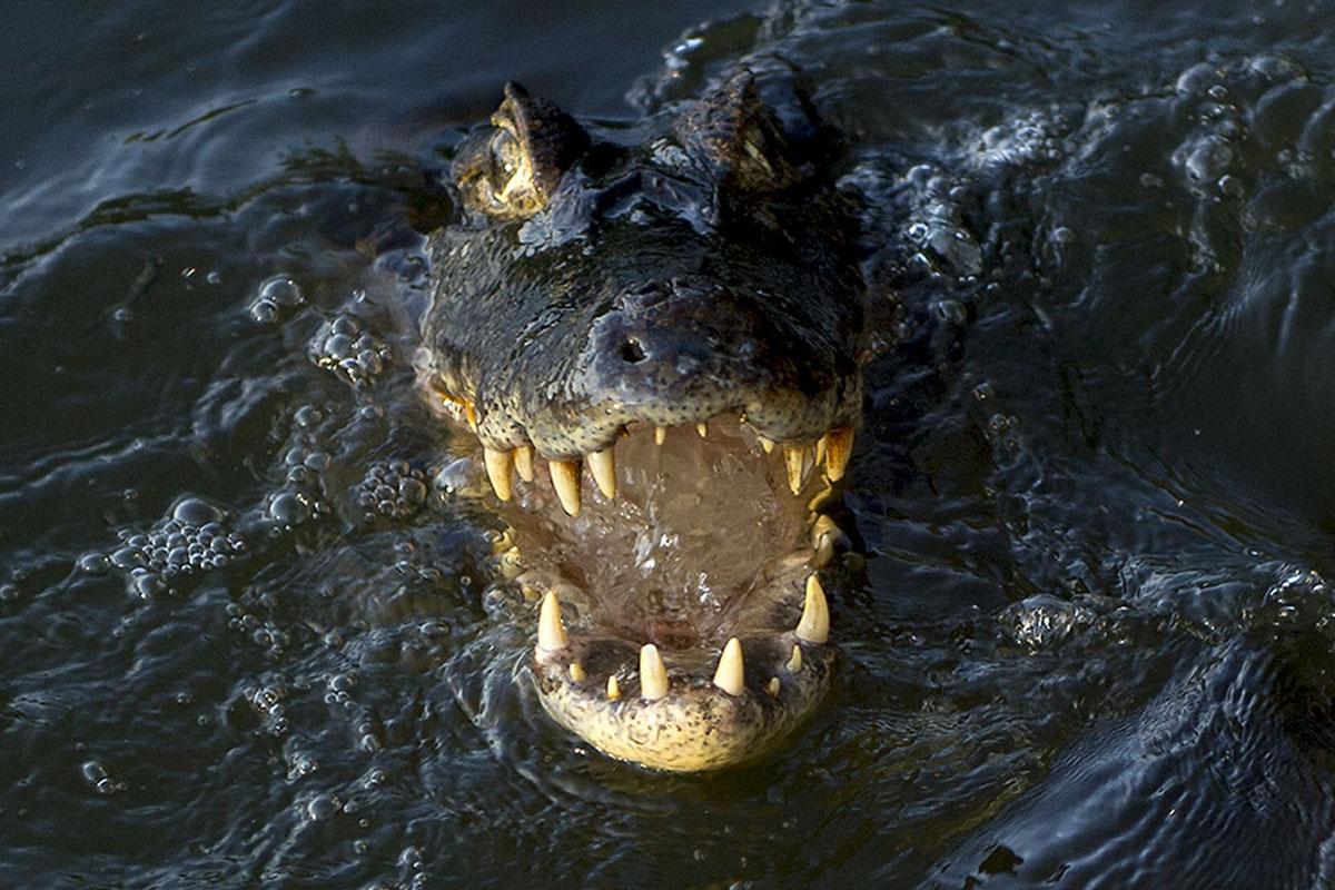 <p><strong>Yacare caiman</strong> Pantanal, Brazil</p>
