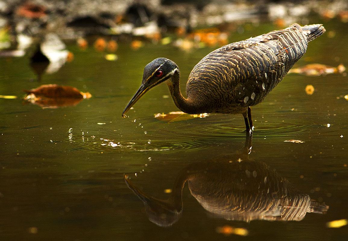 <p><strong>Slunatec nádherný</strong> Pantanal, Brazílie</p>