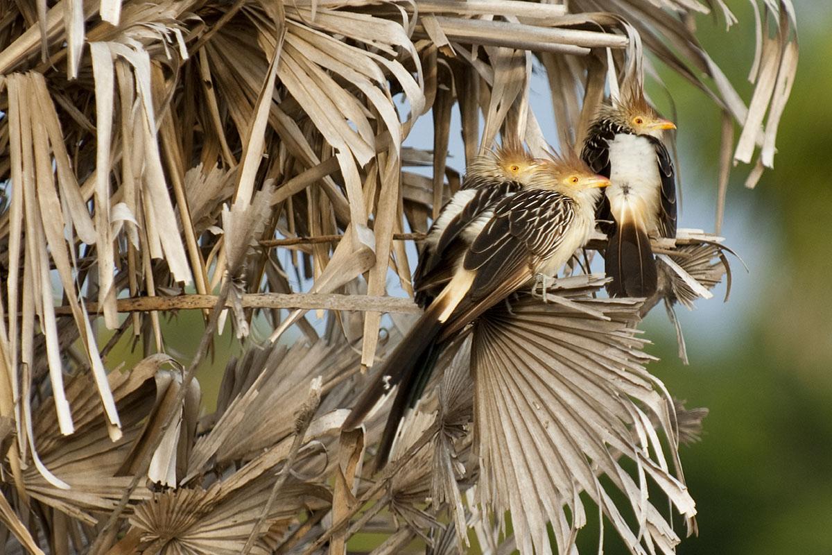 <p><strong>Kukačka guira</strong> Pantanal, Brazílie</p>