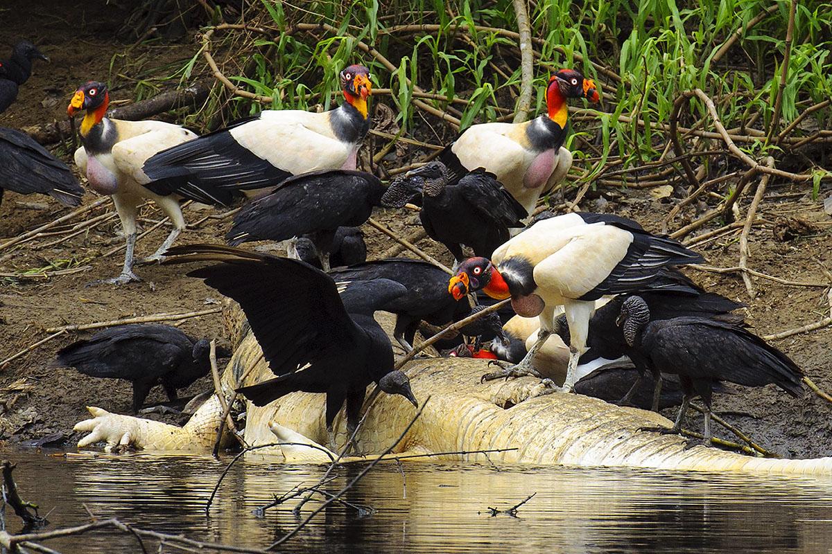 <p><strong>King vulture</strong> Pacaya Samiria, Peru</p>