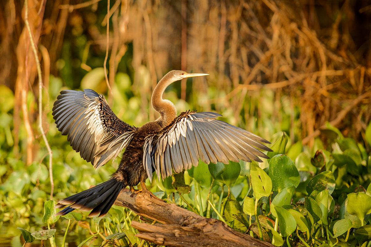 <p><strong>Anhinga americká</strong> Pantanal, Brazílie</p>