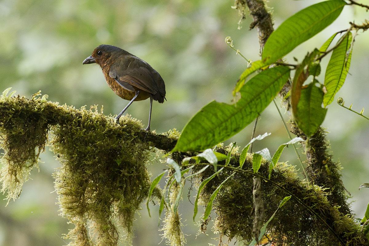 <p><strong>Giant antpita</strong> Otonga, Ecuador</p>