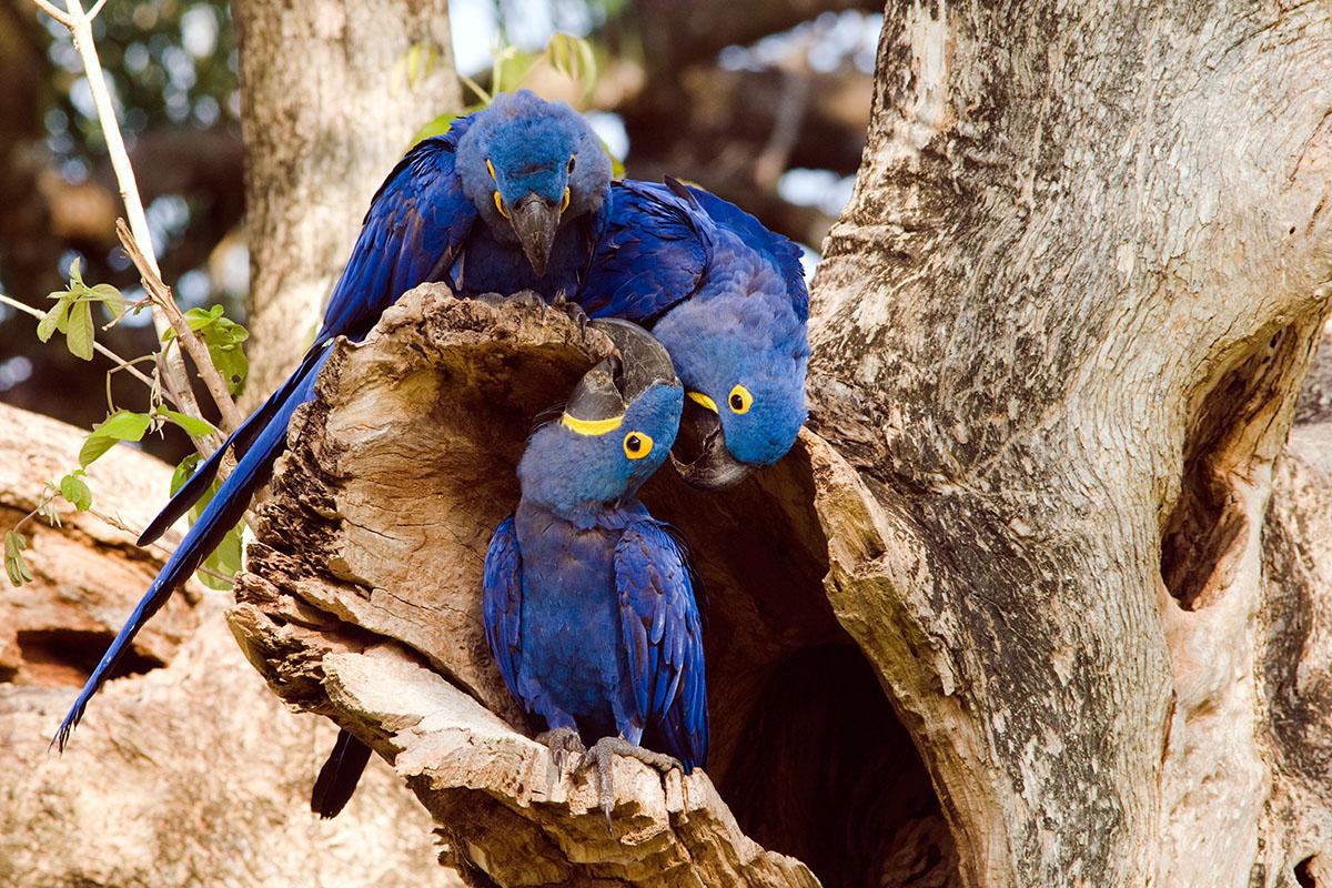 <p><strong>Ara hyacintový</strong> Pantanal, Brazílie</p>