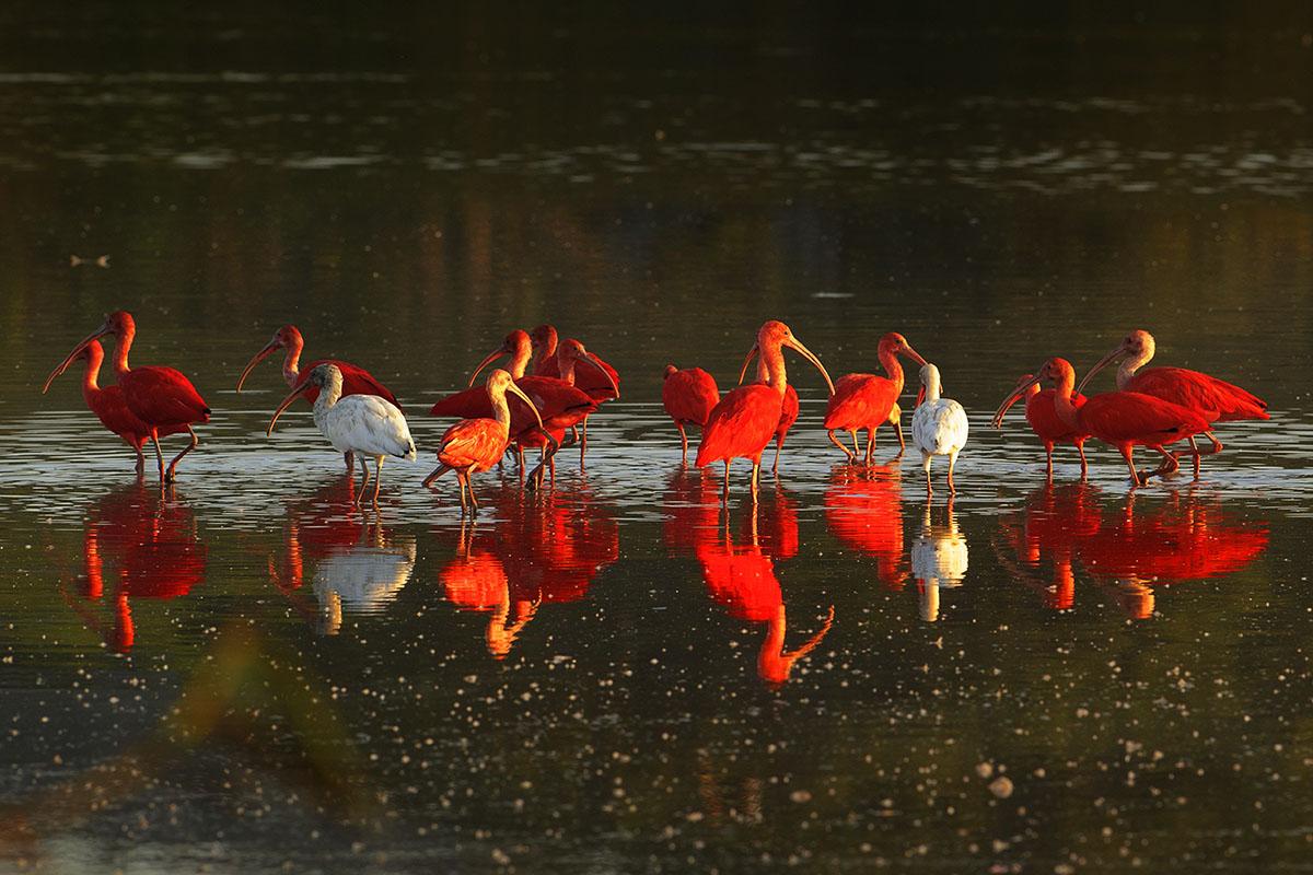 <p><strong>Scarlet ibis</strong> Llanos, Venezuela</p>