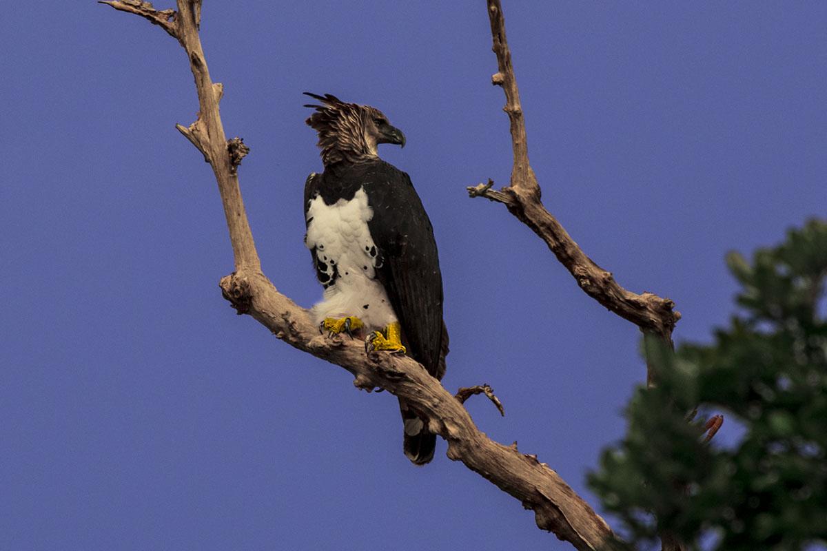 <p><strong>Harpy eagle</strong> Brazo casiquiare, Venezuela</p>