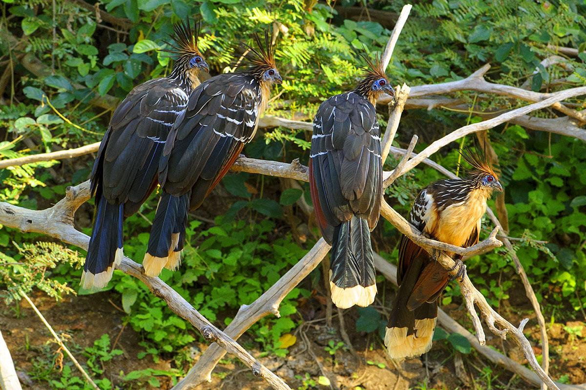<p><strong>Hoatzin</strong> Llanos, Venezuela</p>