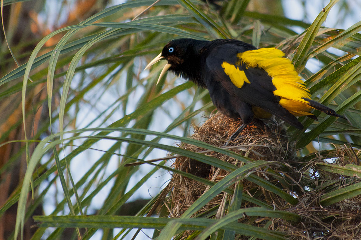 <p><strong>Yellow-rumped casique</strong> Pantanal, Brazil</p>
