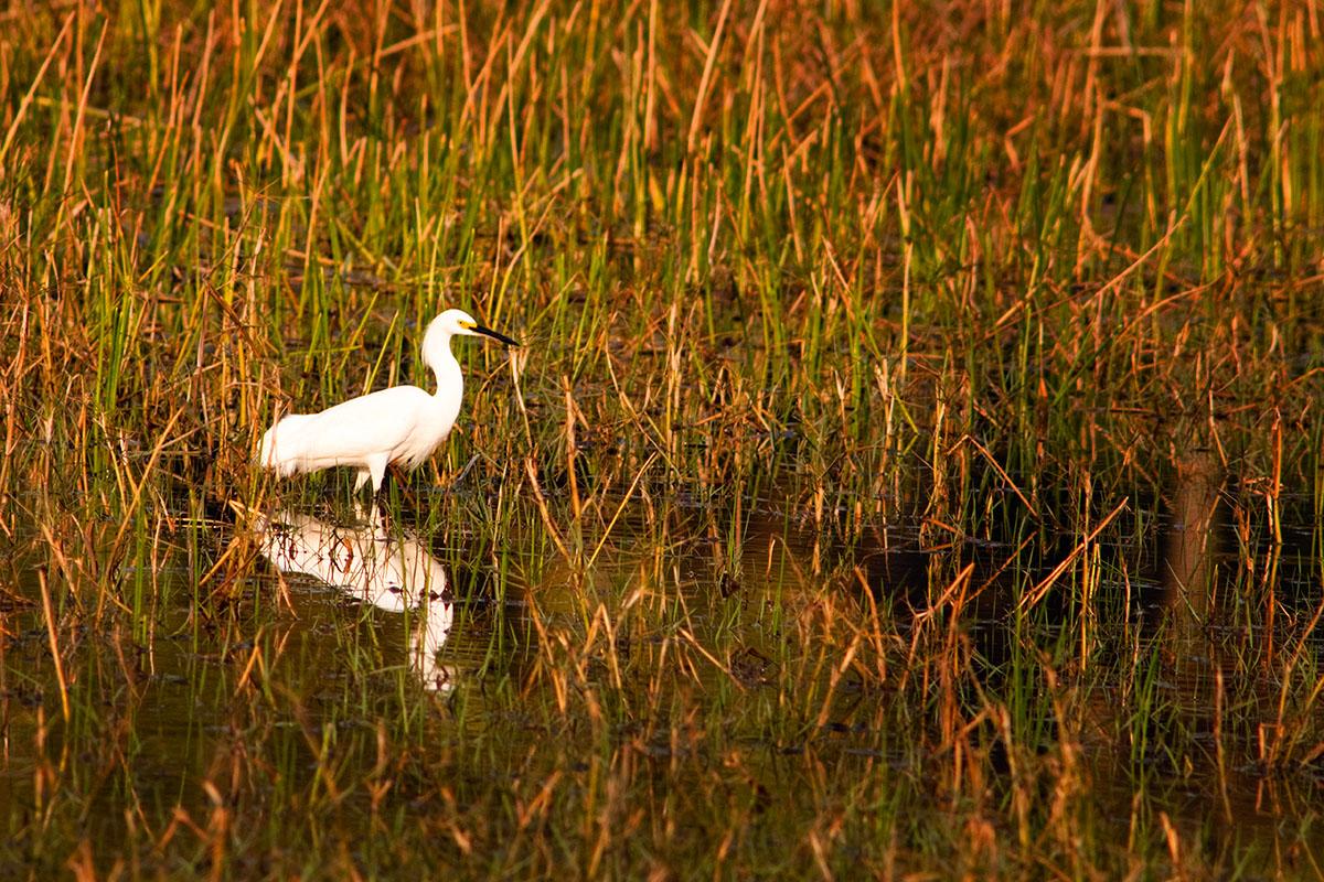 <p><strong>Snowy egret</strong> Pantanal, Brazil</p>
