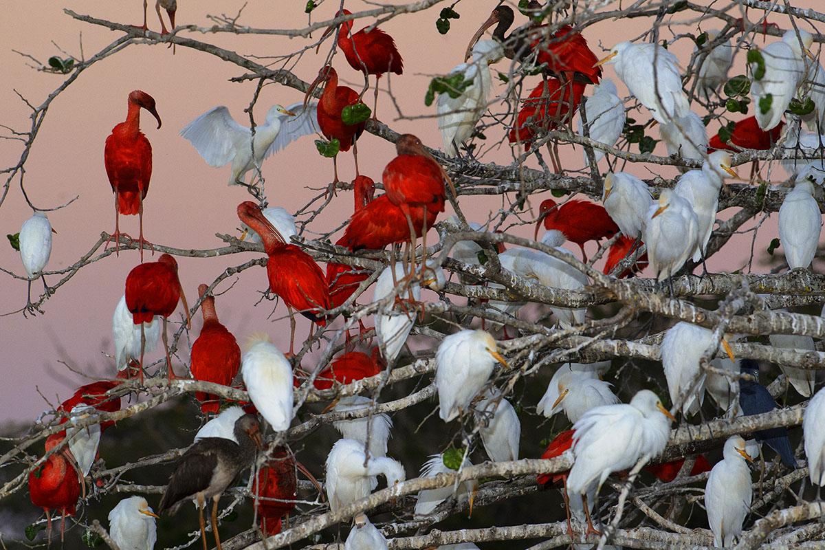 <p><strong>Scarlet ibises and herons</strong> Llanos, Venezuela</p>