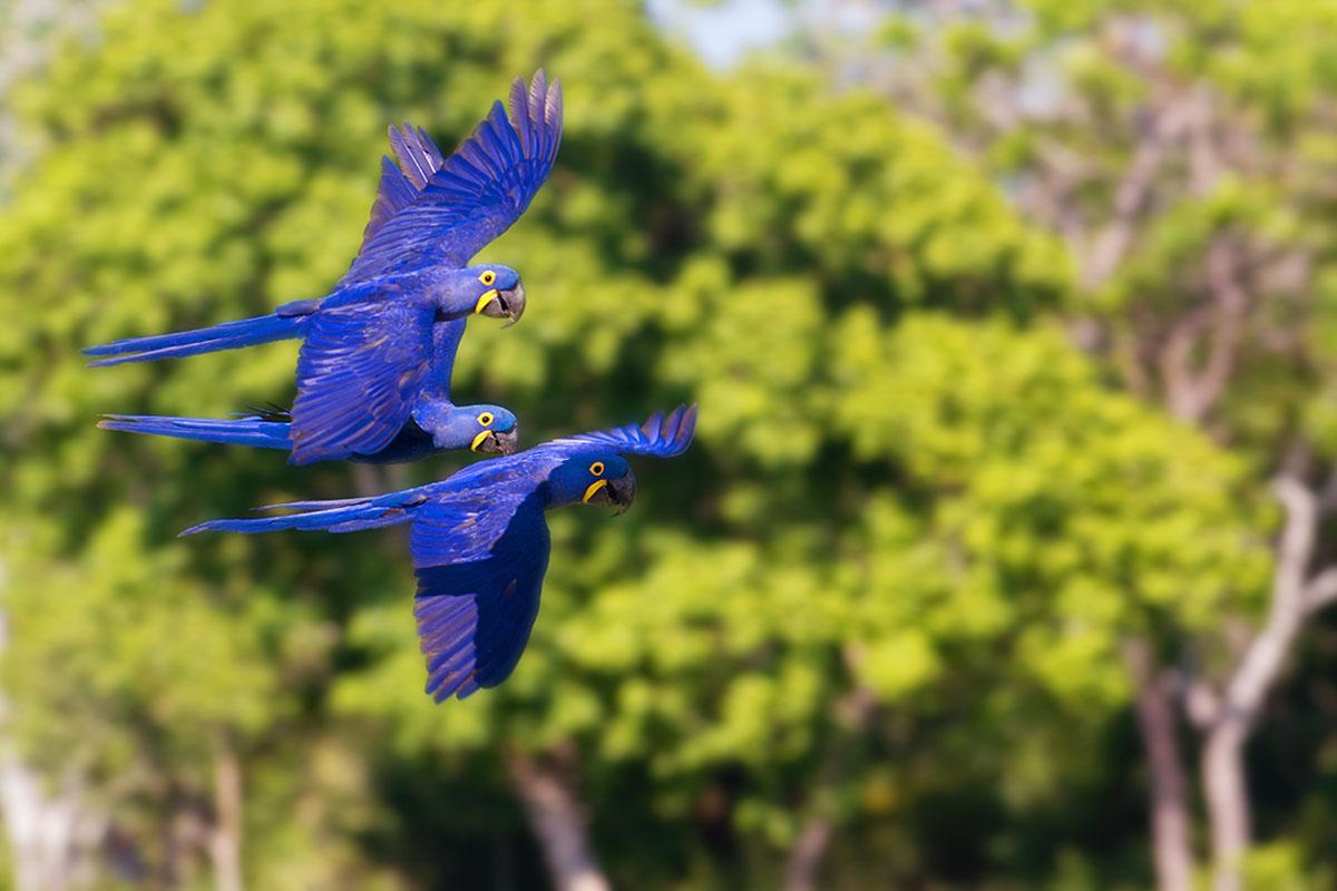 <p><strong>Hyacinth macaw</strong> Pantanal, Brazil</p>
