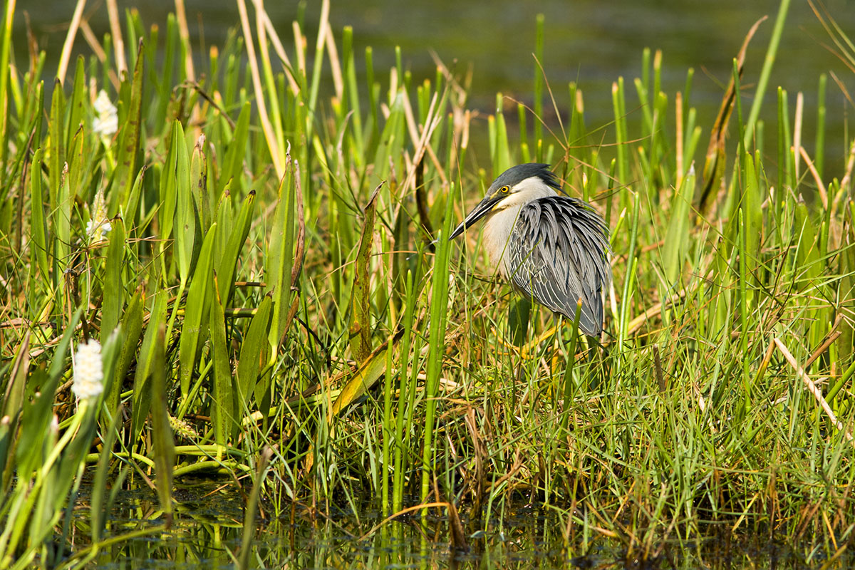 <p><strong>Green-backed heron</strong> Pantanal, Brazil</p>