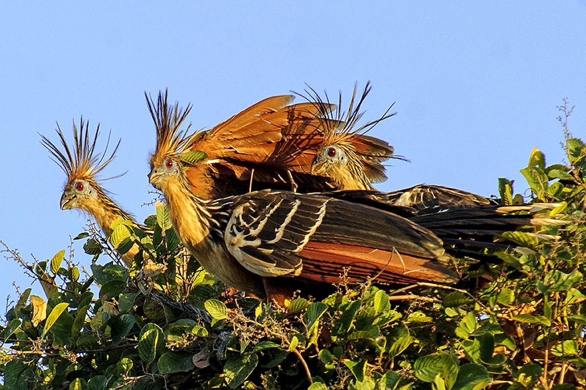 <p><strong>Hoacin chocholatý</strong> Llanos, Venezuela</p>