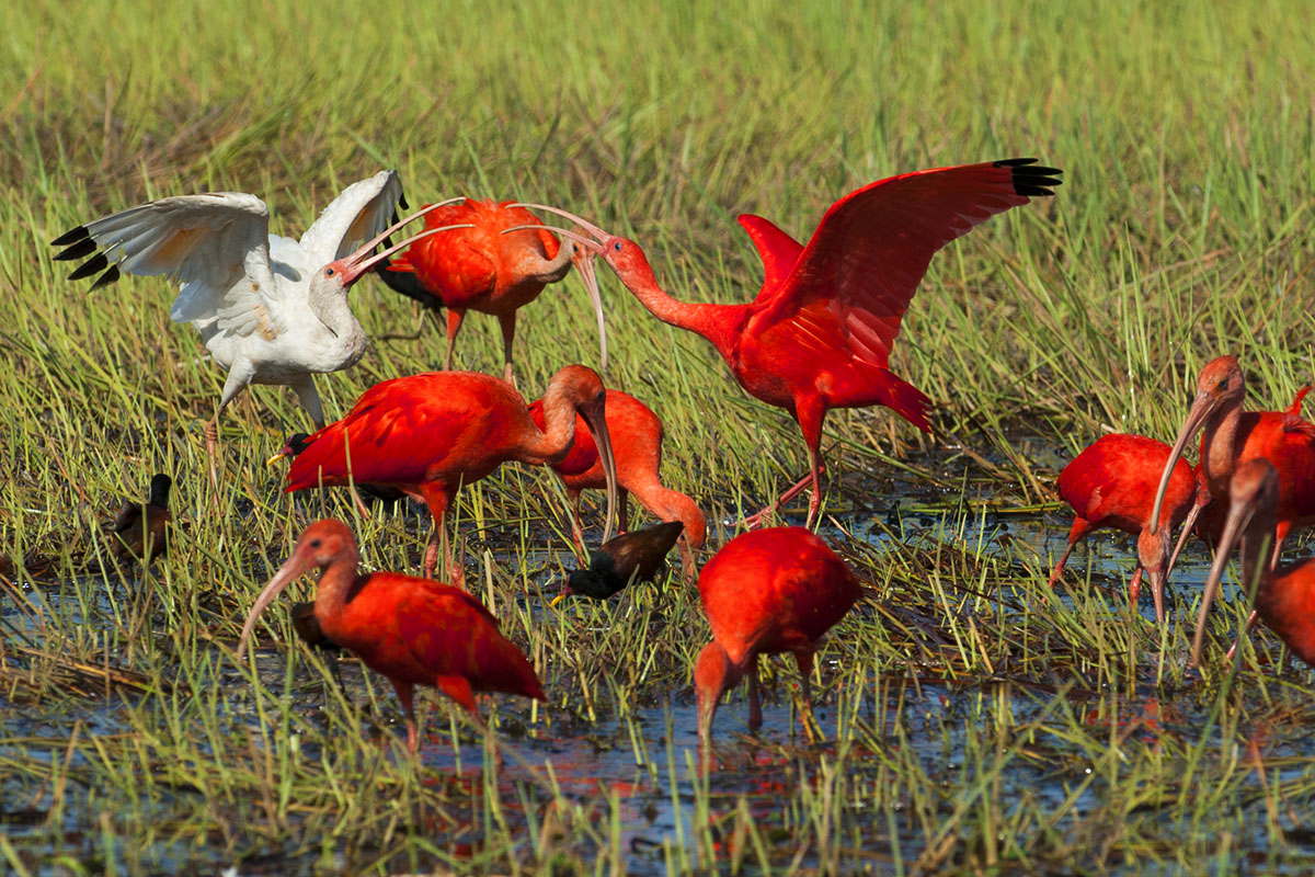 <p><strong>Ibis nachový</strong> Llanos, Venezuela</p>