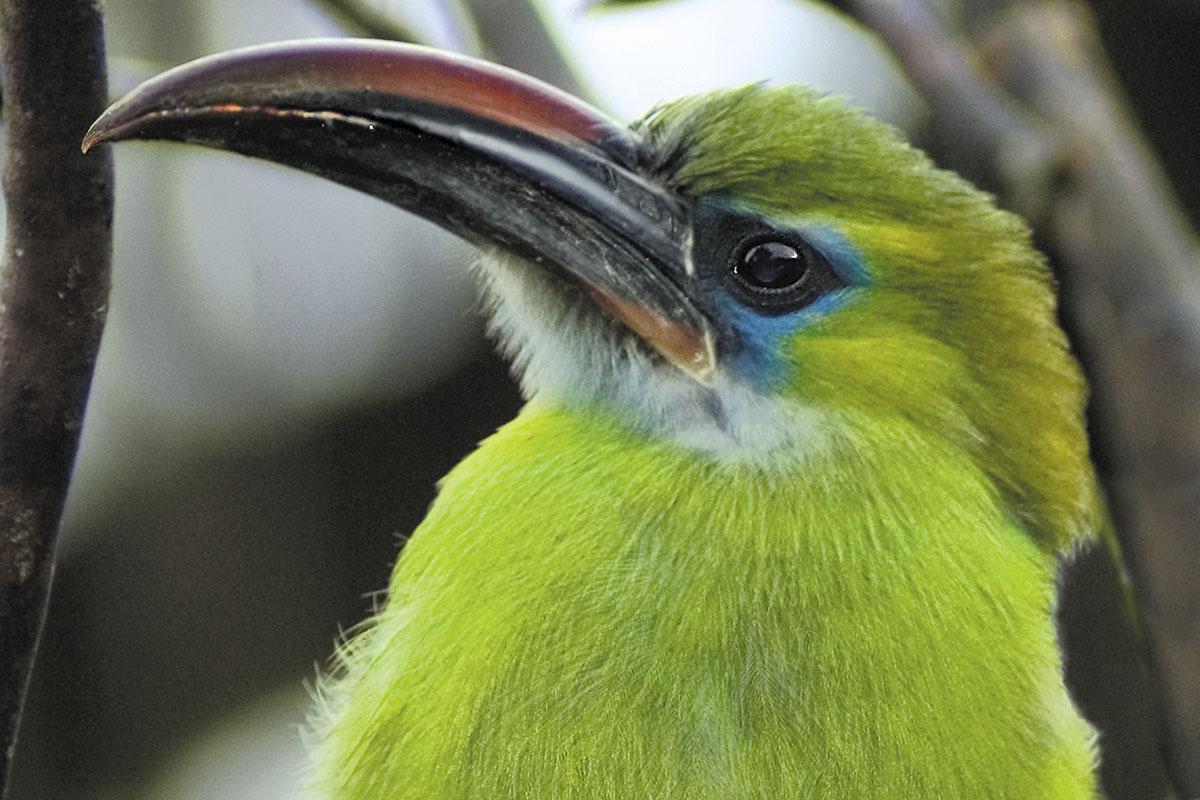 <p><strong>Groove-billed toucanet</strong> Rancho Grande, Venezuela</p>