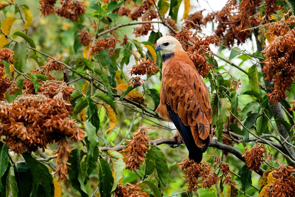 <p><strong>Black-collared hawk</strong> Pantanal, Brazil</p>