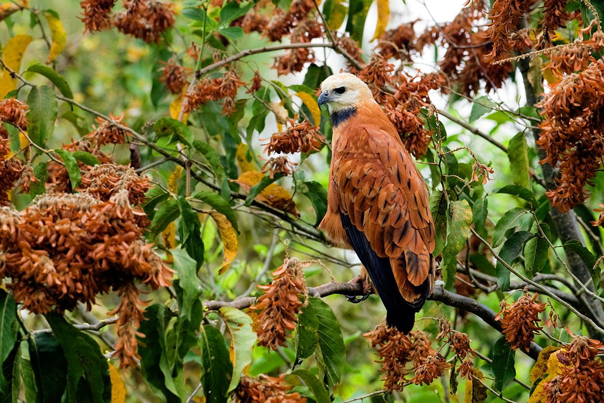 <p><strong>Black-collared hawk</strong> Pantanal, Brazil</p>