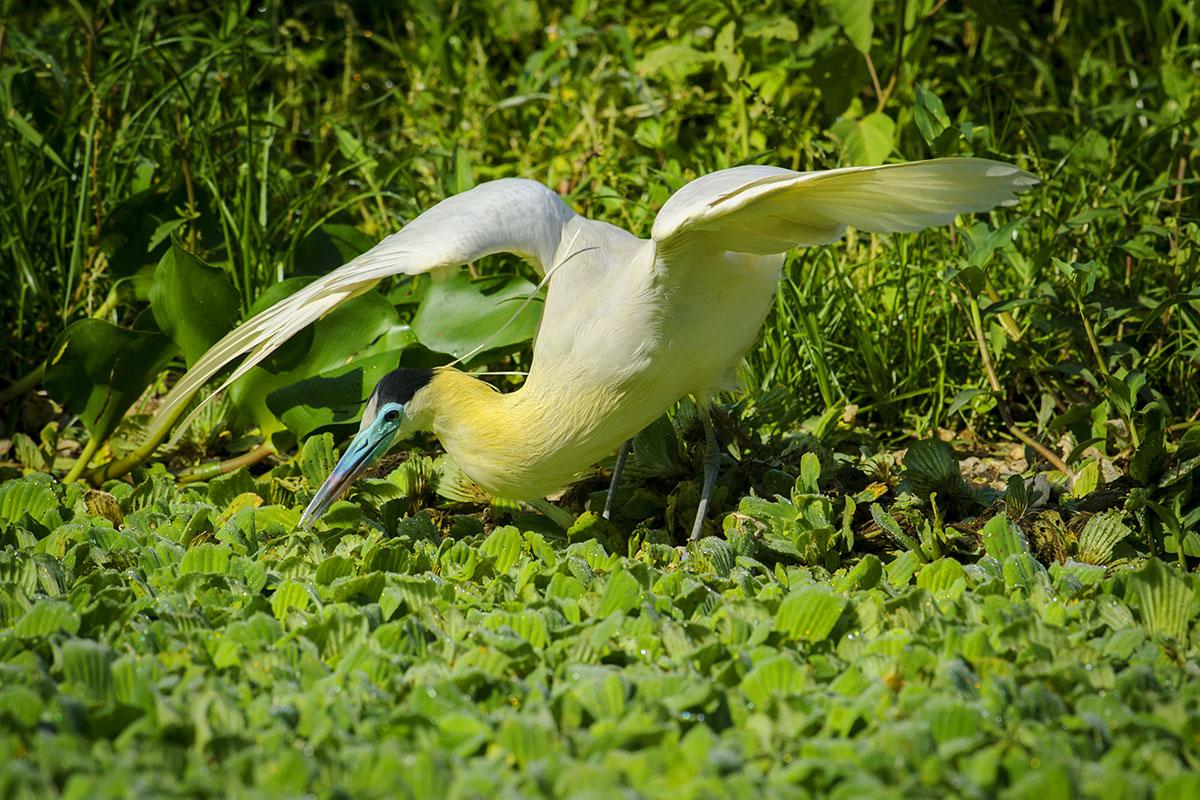 <p><strong>Volavka černohlavá</strong> Pantanal, Brazílie</p>