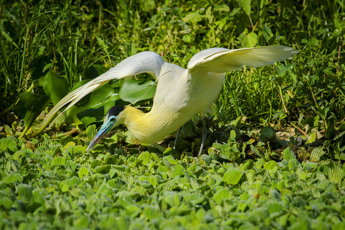 <p><strong>Black-capped heron</strong> Panatanal, Brazil</p>