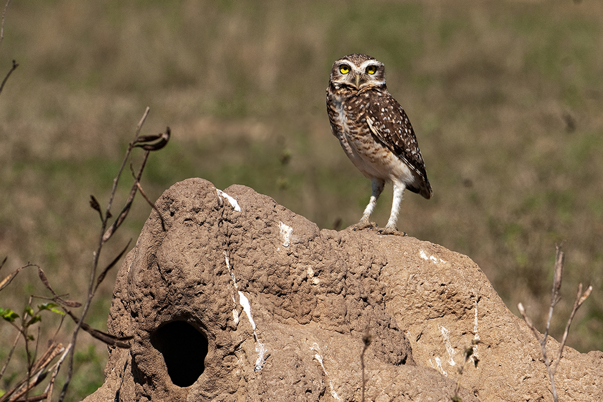 <p><strong>Burrowing owl</strong> Pantanal, Brazil</p>