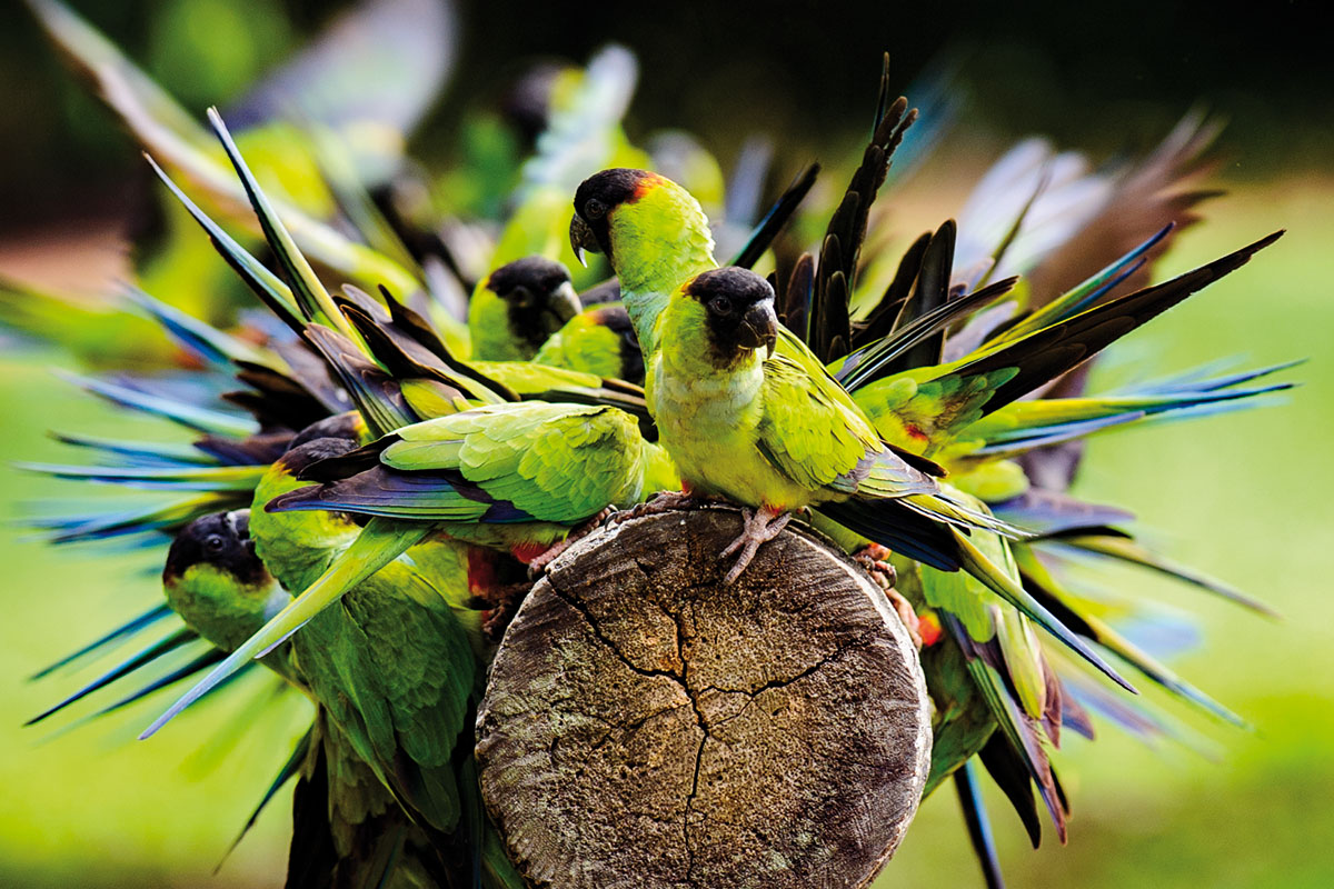 <p><strong>Aratinga černohlavý</strong> Pantanal, Brazílie</p>