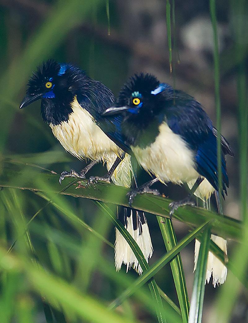 <p><strong>Sojka kápovitá</strong> Pantanal, Brazílie</p>