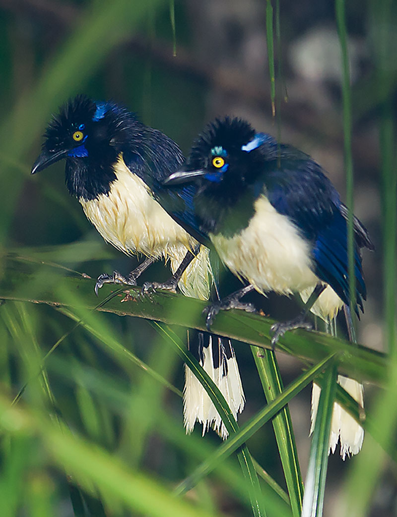 <p><strong>Plush-crested jay</strong> Pantanal, Brazil</p>