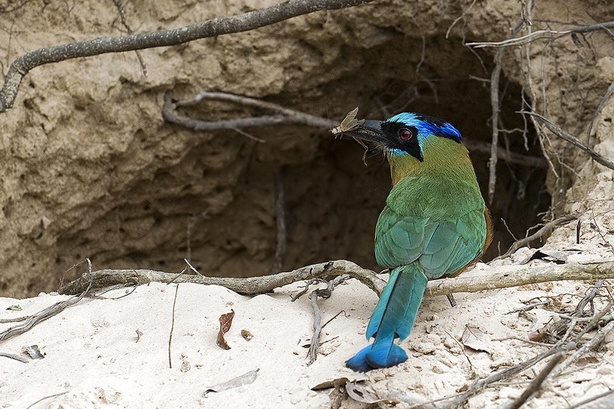 <p><strong>Momot černolící</strong> Pantanal, Brazílie</p>