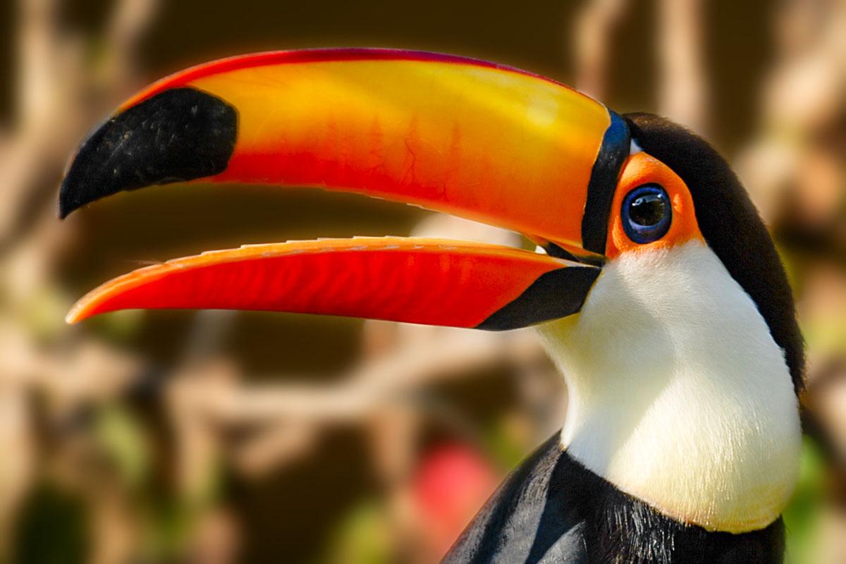 <p><strong>Toco toucan</strong> Pantanal, Brazil</p>