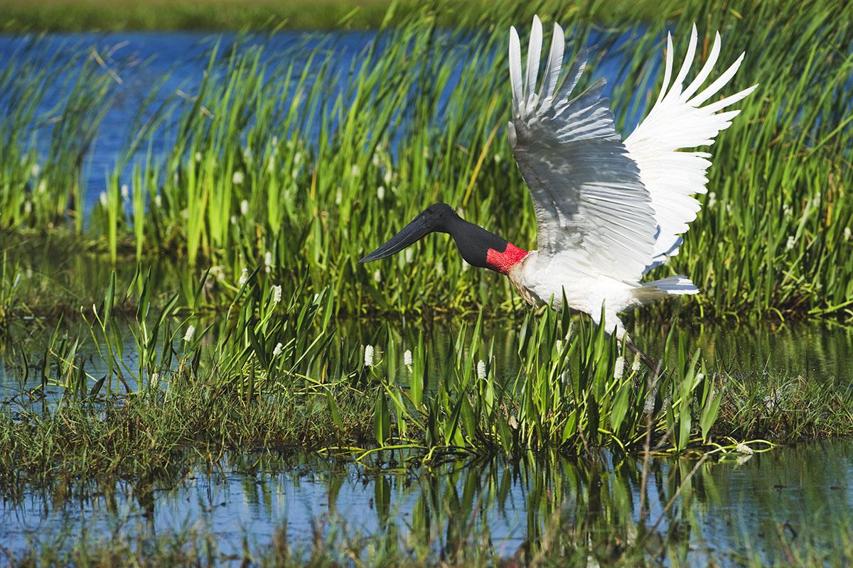 <p><strong>Jabiru</strong> Pantanal, Brazil</p>