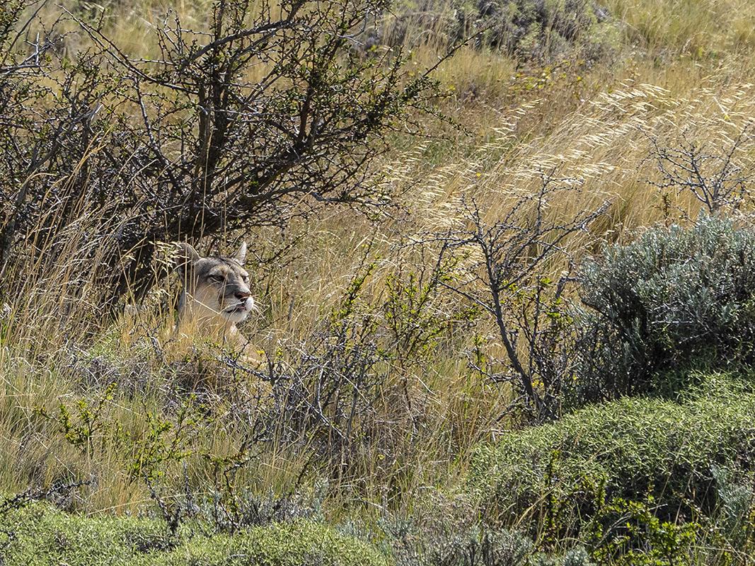 <p>Puma (Puma concolor), NP Torres del Paine, Chile. </p>