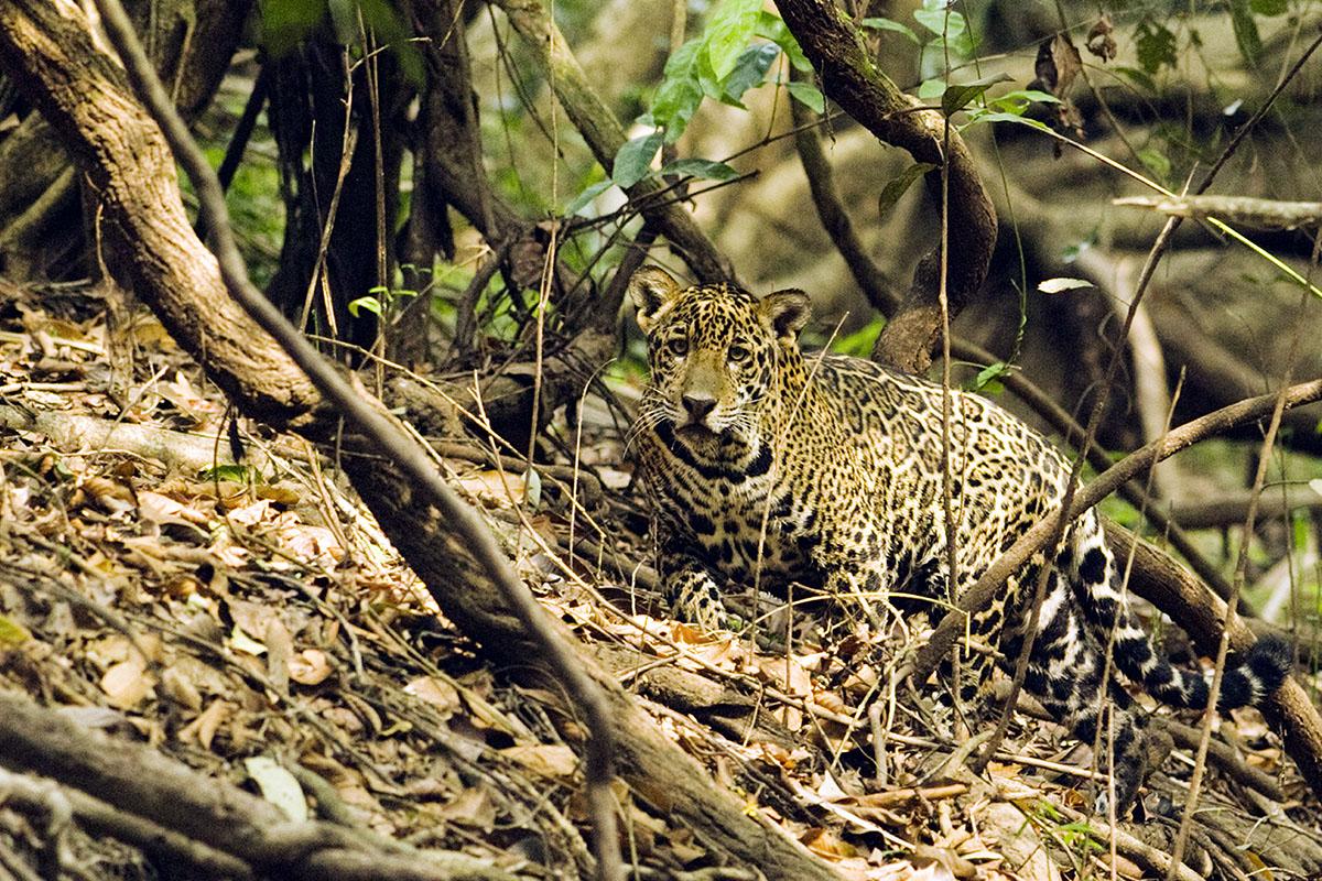 <p><strong>Mladá jaguářice</strong> (v análech new yorské nadace PANTHERA vedená jako Radana) Pantanal, Brazílie</p>