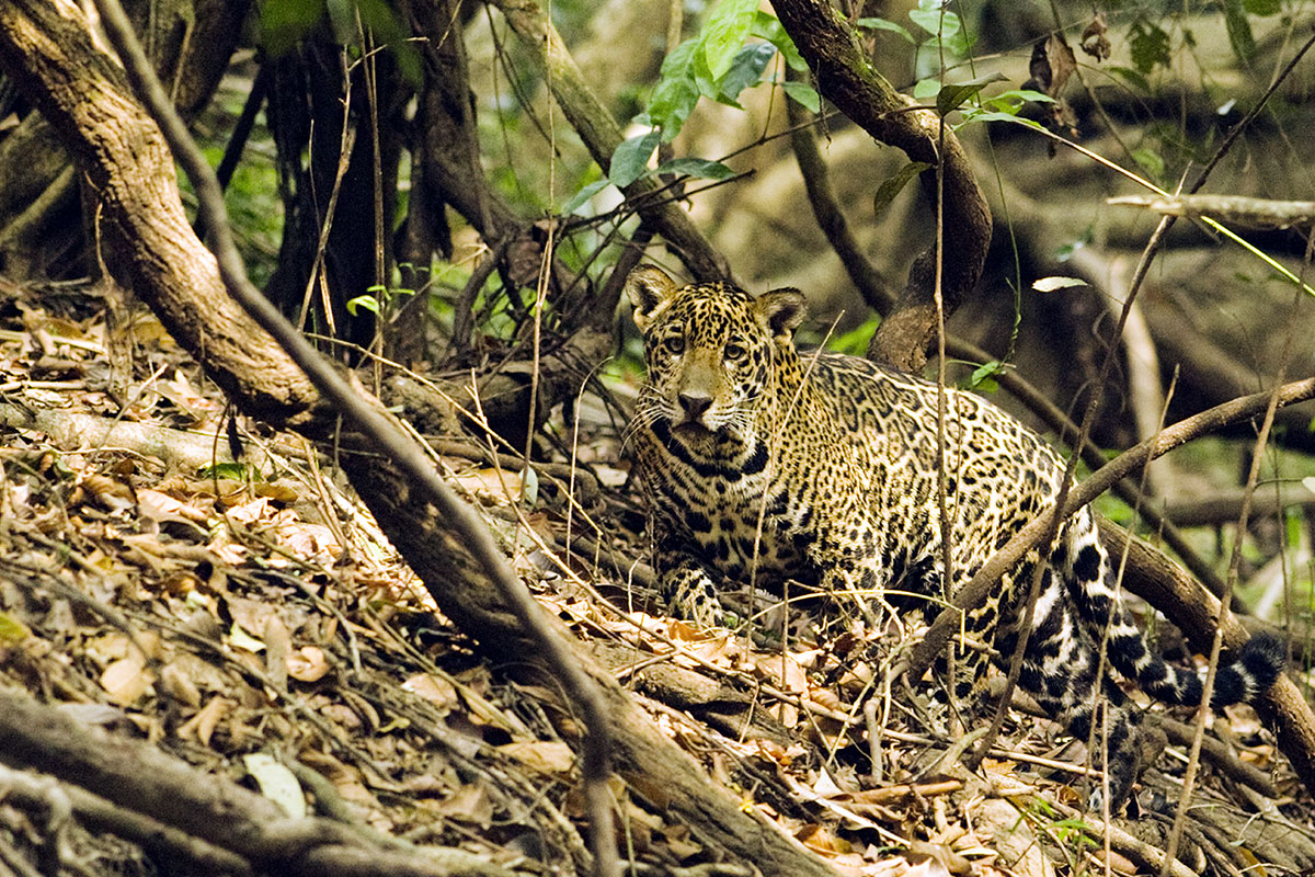 <p><strong>Young jaguar female</strong> (in New York PANTHERA foundation list as Radana) Pantanal, Brazil</p>