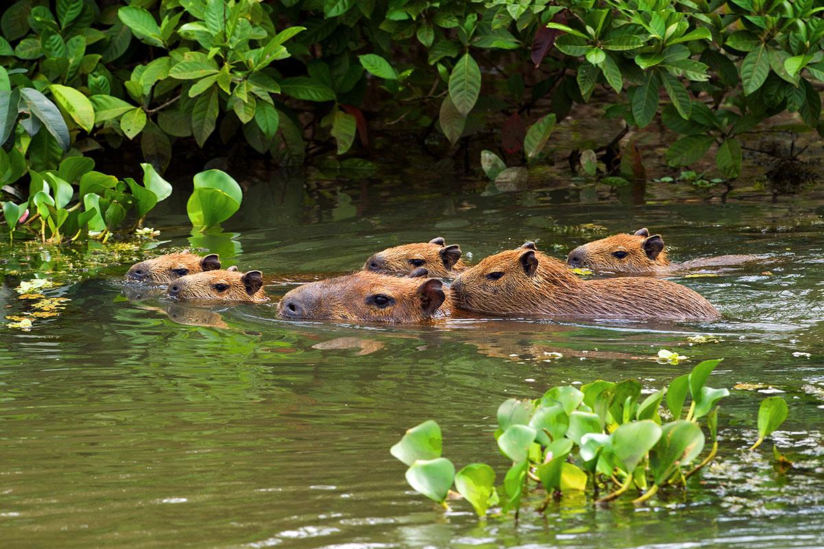 <p><strong>Kapybary</strong> Pantanal, Brazílie</p>