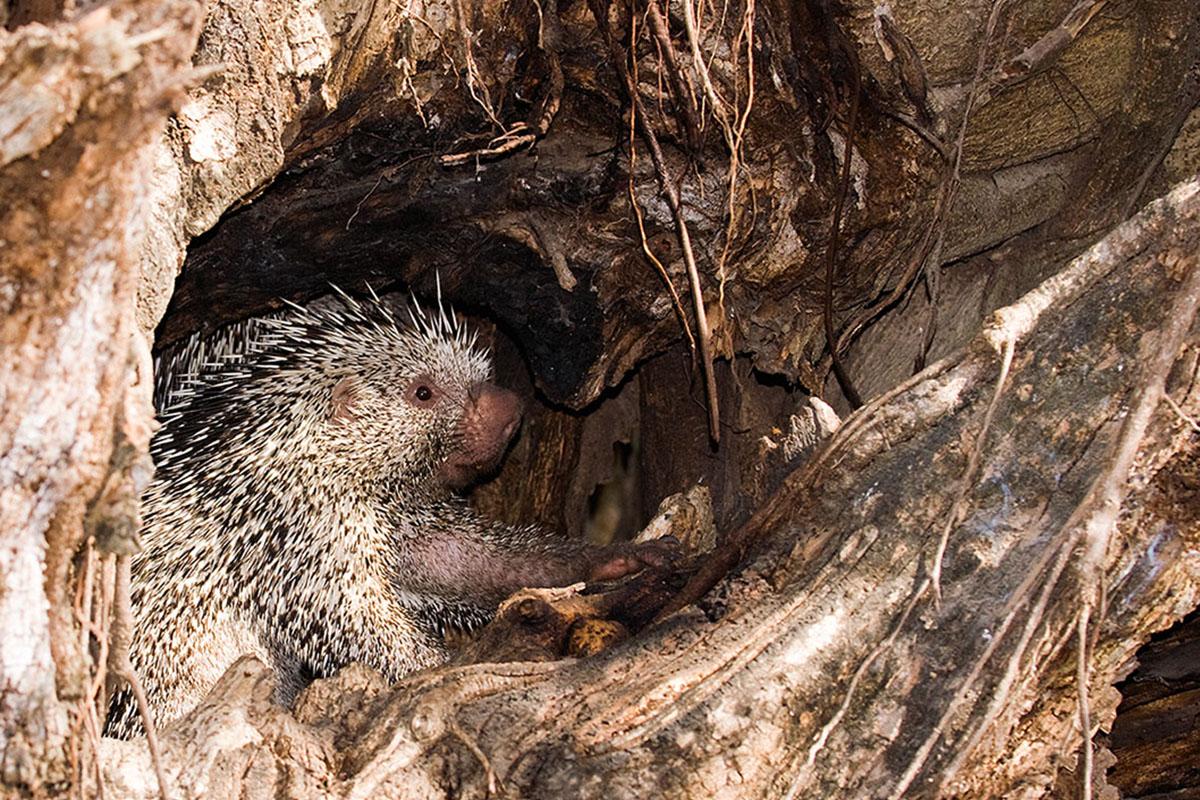 <p><strong>Brazilian porcupine</strong> Llanos, Venezuela</p>