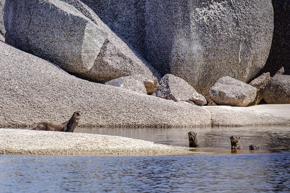 <p><strong>Giant Otters</strong> Rio Atabapo, Venezuela</p>