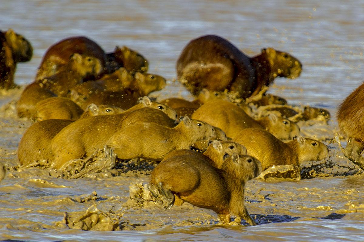 <p><strong>Capybaras</strong> Llanos, Venezuela</p>