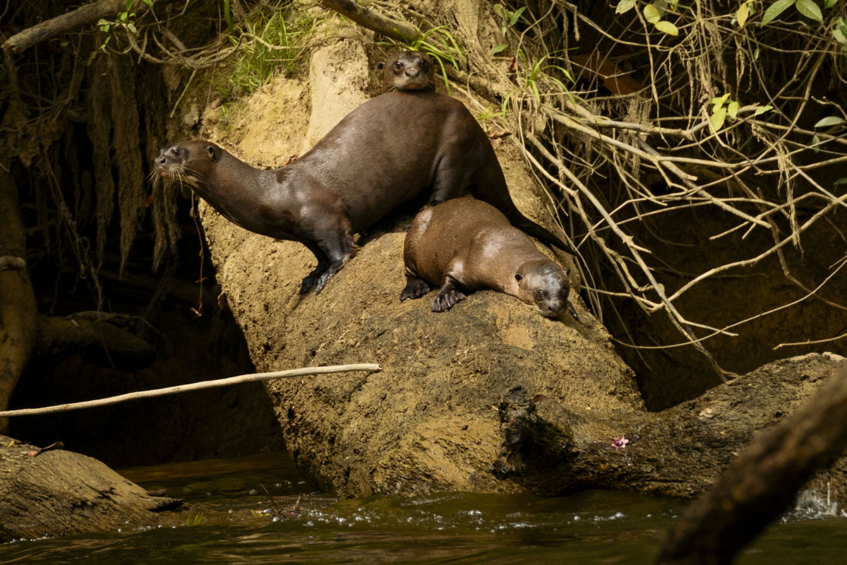 <p><strong>Giant otter mother with cubs</strong> Rio Autana, Venezuela</p>