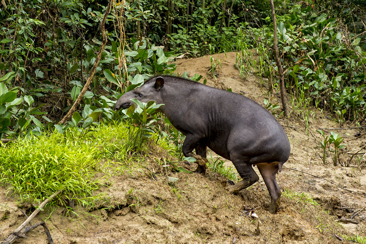 <p><strong>Tapir</strong> Yasuní, Ecuador</p>
