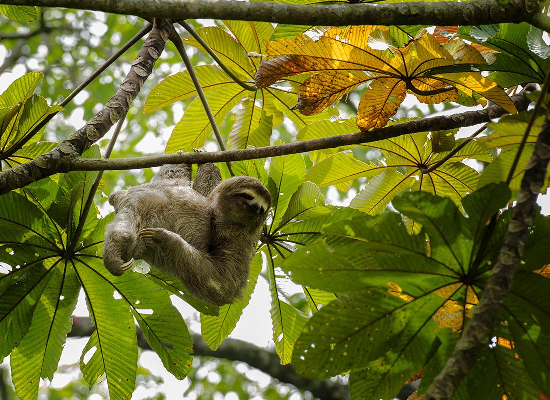 <p><strong>Brown-throated three-toed sloth</strong> Rancho Grande, Venezuela</p>