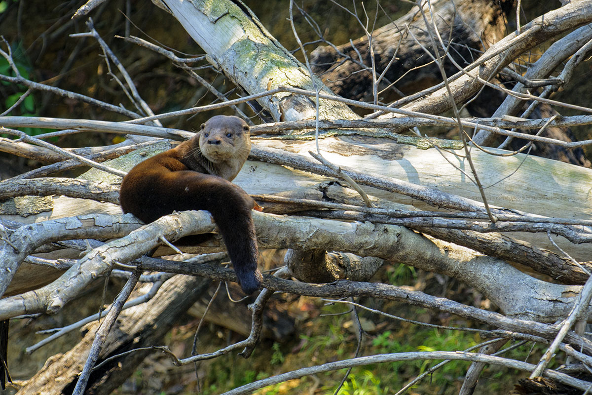 <p><strong>Neotropical otter</strong> Pantanal, Brazil</p>