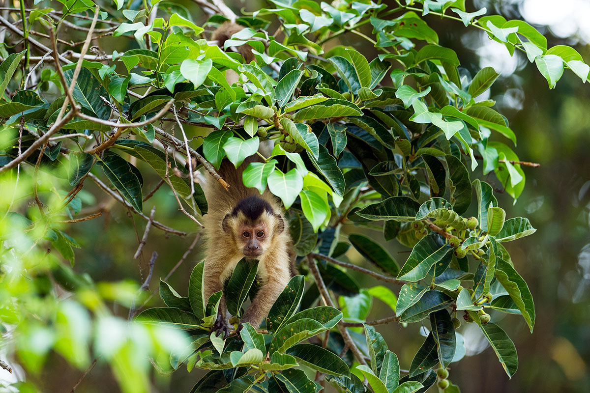 <p><strong>Guaian brown capuchin</strong> Pantanal, Brazil</p>