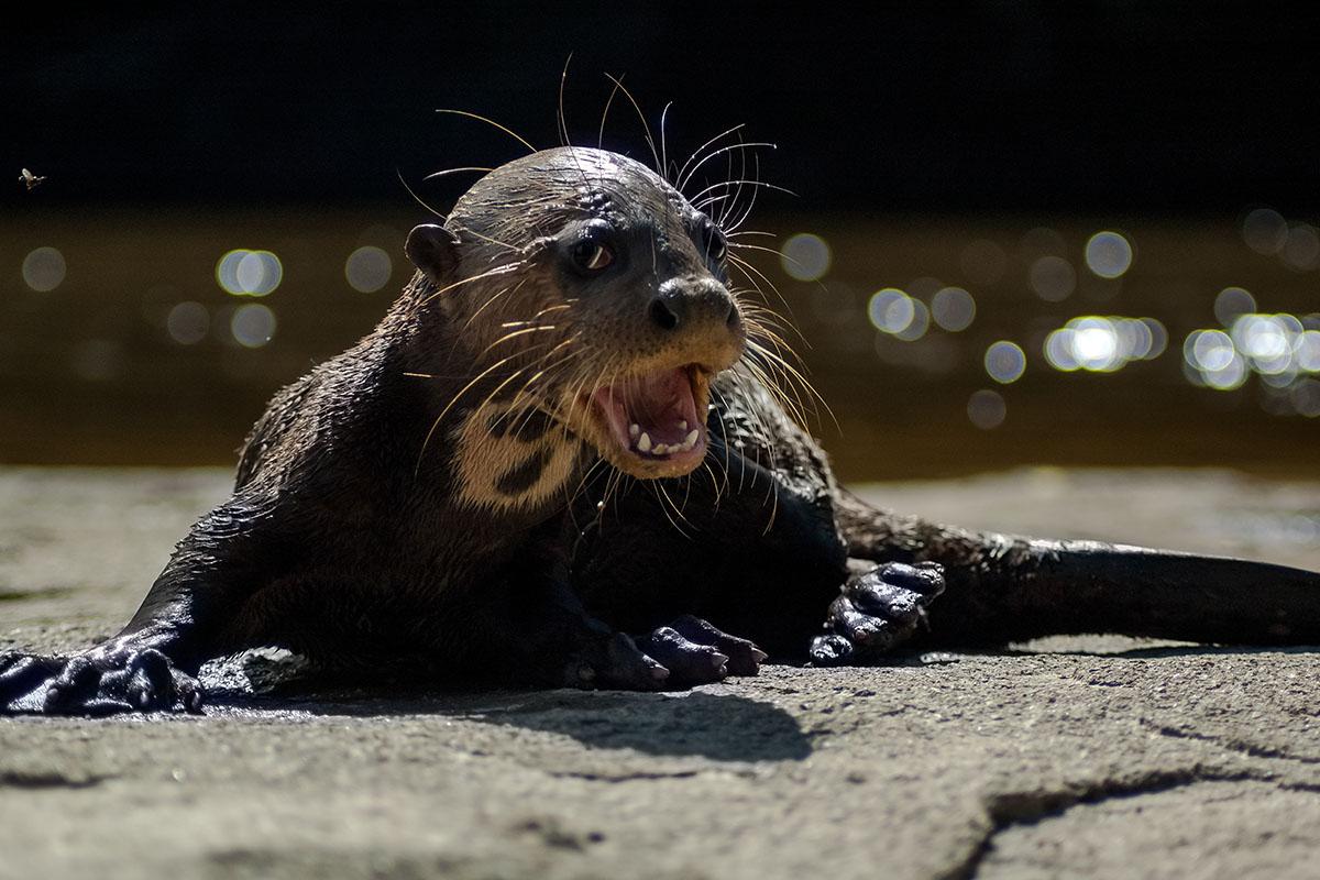 <p><strong>Giant otter cub</strong> Orinoco, Venezuela</p>