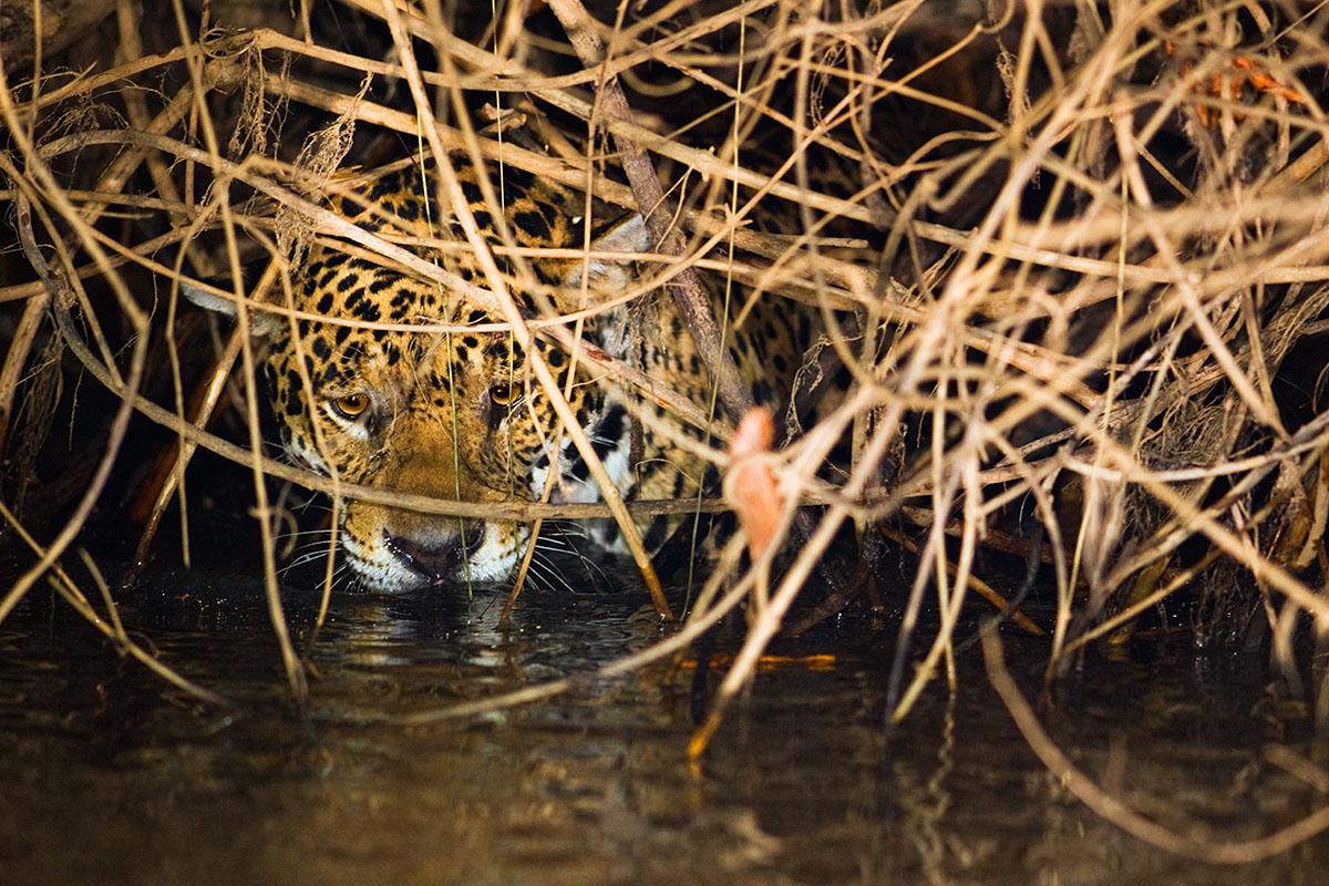 <p><strong>Jaguar</strong> Pantanal, Brazil</p>